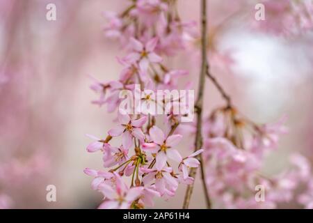 Close up full bloom beautiful pink cherry blossoms flowers ( sakura ) in springtime sunny day. Beauty natural background - Stock Photo