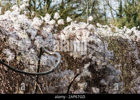 A fence covered in  Travellers Joy, wild clematis, Clematis vitalba, Old mans beard winter seedheads in winter sunlight - Stock Photo