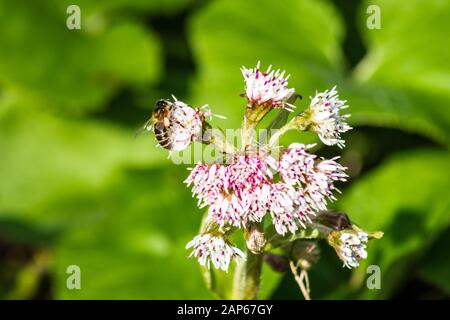 A honey bee apis mellifera with visible pollen baskets visiting the flower of a butterbur Petasites hybridus in winter - Stock Photo