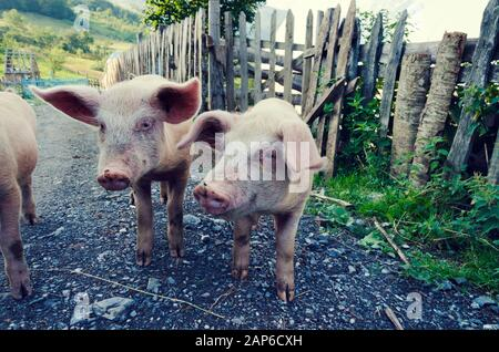 Pigs on a pig farm in Albania. Selective focus - Stock Photo