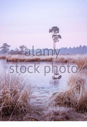 a little bit of frost on the reed grass at a fen with some trees in the Netherlands - Stock Photo