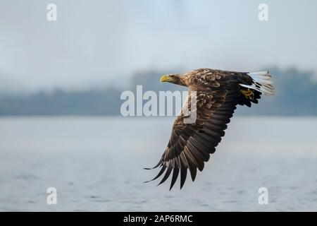 Beautiful White Tailed Eagle (Haliaeetus albicilla) in flight. Also known as the ern, erne, gray eagle, Eurasian sea eagle and white-tailed sea-eagle. - Stock Photo