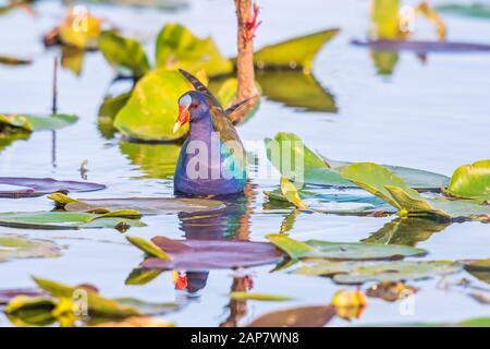 American purple gallinule (Porphyrio martinicus) found in Everglades National Park. Anhinga trail. Florida. USA - Stock Photo