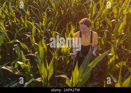 Agronomist farmer woman using tablet computer in corn field. Aerial view of female farm worker in maize plantation with modern technology app analyzin - Stock Photo