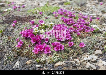 Saxifraga oppositifolia L.. Alpine flora. Glocknergruppe. Austrian Alps. Europe. - Stock Photo