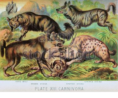 Aard wolf, Brown Hyena, Spotted Hyena, Striped Hyena, vintage colour lithograph illustration from 1880 - Stock Photo