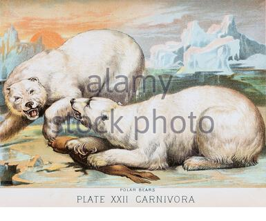 Polar bear, vintage colour lithograph illustration from 1880 - Stock Photo
