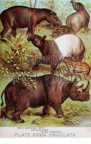 South American tapir, Malayan tapir, Black Rhinoceros, vintage colour lithograph illustration from 1880 - Stock Photo