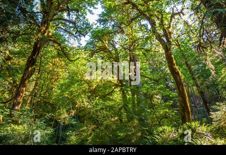 Looking up at the tree canopy of mostly Big Leaf Maple trees, Hoh Rainforest in Olympic National Park near the Hoh river, Washington, USA. - Stock Photo