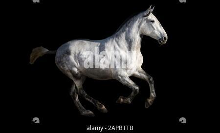 Spanish thoroughbred horse, isolated on a black background, stud - Stock Photo