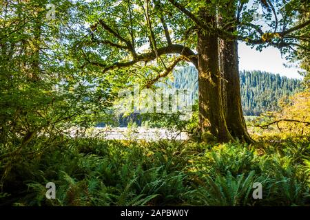 Ferns and big leaf maple trees along the Hoh river, Hoh Rain Forest, Olympic National Park, Washington State, USA. - Stock Photo