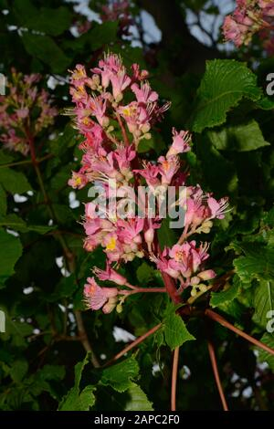 Aesculus × carnea (red horse-chestnut) is a hybrid between Aesculus pavia (red buckeye) and Aesculus hippocastanum (horse-chestnut). - Stock Photo