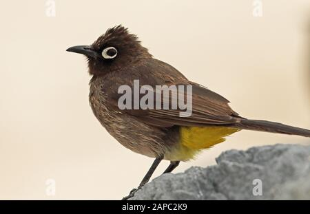 Cape Bulbul (Pycnonotus capensis) close-up of adult perched on rock  western cape, South Africa                     November - Stock Photo