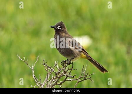 Cape Bulbul (Pycnonotus capensis) adult perched on dead bush  western cape, South Africa                     November - Stock Photo