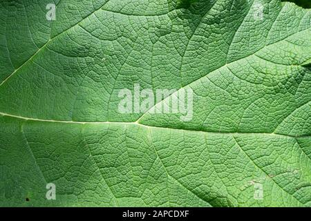 Detailed image of a Gunnera manicata leaf also known as giant rhubarb - Stock Photo