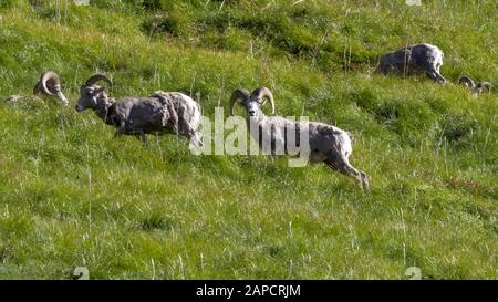 a bighorn sheep ram looks at the camera at logan pass in glacier national park - Stock Photo