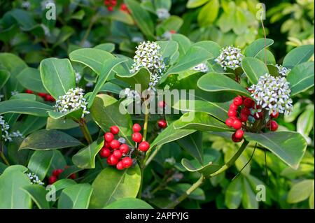 Japanese Skimmia (Skimmia japonica) 'Rubella'. Fruits and Flowers in winter - Stock Photo