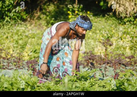 Indian farmer caring for the growing potato.Farmer extirpate grass in potato garden. - Stock Photo