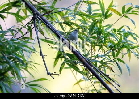 Yellow-browed Warbler (Formal Name: Phylloscopus inornatus) in Tai Po Kau Nature Trail, Hong Kong. - Stock Photo