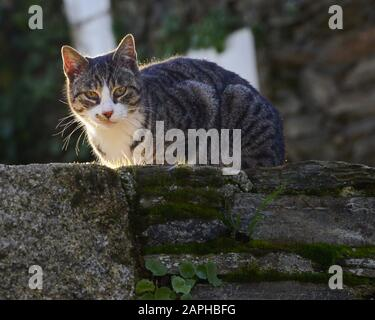 Grey Urban Wild Cat  on a Stone Wall in the old town of a European city - Stock Photo