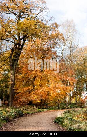 Autumn trees in full autumn colour in English woodland  Trentham Gardens  Staffordshire England UK - Stock Photo