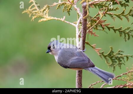 Tufted Titmouse (Baeolophus Bicolor) Perched on a Tree in Autumn - Stock Photo