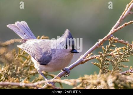 Tufted Titmouse (Baeolophus Bicolor) Perched on a Branch in Winter - Stock Photo
