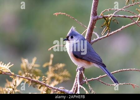 Tufted Titmouse (Baeolophus Bicolor) Perched on a Tree in Winter - Stock Photo