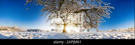 Magnificent panoramic winter scenery with the sun shining under a large tree on a field in snow and clear blue sky - Stock Photo
