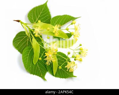 Linden flowers isolated against a white background - Stock Photo