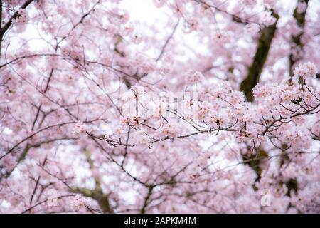Cherry Blossom in spring with Soft focus, Sakura season in South Korea or Japan ,Background. - Stock Photo