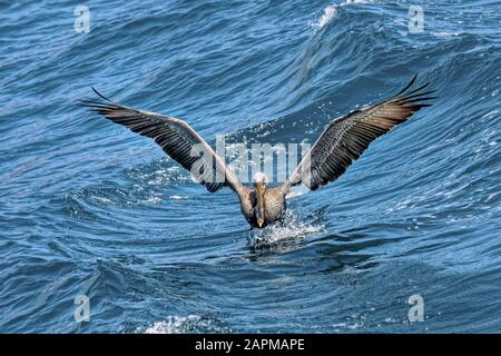 California Brown Pelican ( Pelecanus occidentalis californicus) swimming in Ensenada Mexico