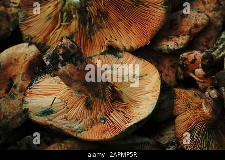 Large brown wild forest mushrooms on display in market