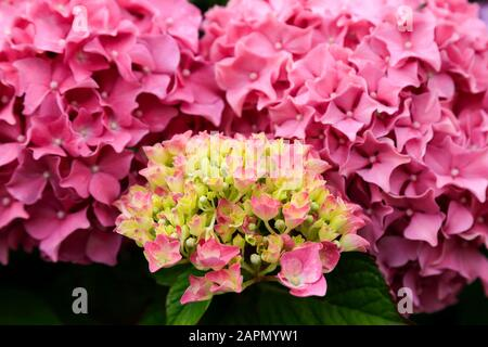 Pink Hydrangea flowers, close-up in full sun. - Stock Photo