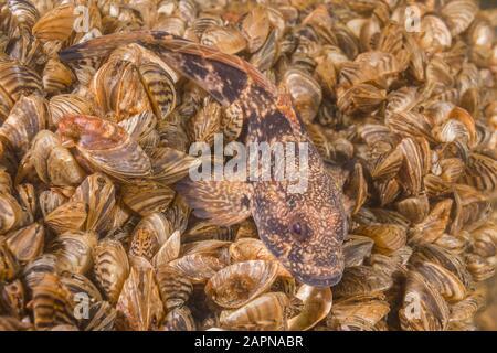 Closeup of Racer goby (Babka gymnotrachelus) lies on a colony bivalves mollusks Zebra mussel (Dreissena polymorpha). Dnieper River - Stock Photo