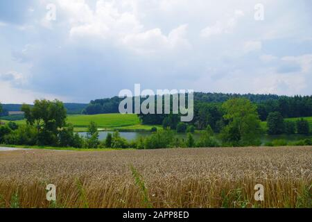 A rural landscape with a yellow wheat field near a blue lake and a cloudy sky. In the distance, a green thick forest and green fields. - Stock Photo