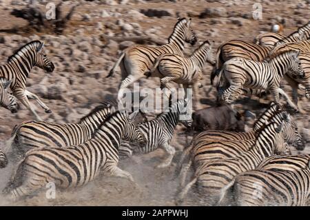 Zeal of burchell's zebras (Equus burchellii) running, Etosha National Park, Namibia - Stock Photo