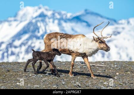 A reindeer (Rangifer tarandus) cow with her new calf, calf staying very close to protective cow, Alaska Wildlife Conservation Center