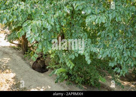Bern, Switzerland - July 26, 2019: brown bear in a zoo, Bern, Switzerland. Brown bears are symbol of the the capital of Switzerland.. - Stock Photo
