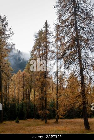 Forest in the Italian alpine mountains with yellow pine trees during autumn - Stock Photo