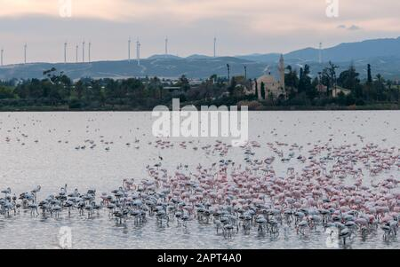 Group of wild Flamingo Birds resting and feeding  at the salt lake in front of the famous Hala sultan Tekke Muslim shrine mosque  at Larnaca city in C - Stock Photo