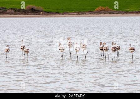 Group of beautiful flamingo birds  walking and feeding  at the Salt lake of Larnaca in Cyprus. - Stock Photo