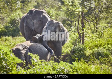 Wild elephants play in bush, Udawalawe National Park, Sri Lanka. - Stock Photo