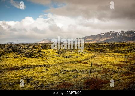 Lava fields with moss covering volcanic rock; Iceland