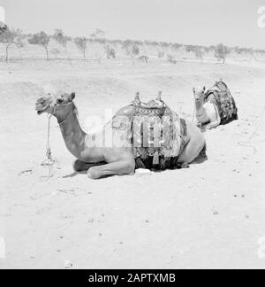 Saddled dromedaries, lying in the desert. Report /Series: Israel 1960-1965: Bedouins in Beershewa (Beer Sheva). - Stock Photo