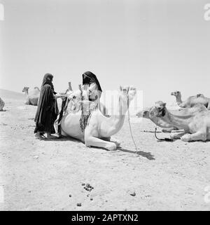 Bedouin women saddle dromedary. Report /Series: Israel 1960-1965: Bedouins in Beershewa (Beer Sheva). - Stock Photo