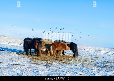 Icelandic horses walk in the snow near a haystack. Farm in Iceland. - Stock Photo