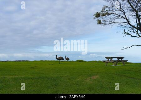 Emus grazing on green grass near picnic area with table. Wild animals in nature - Stock Photo