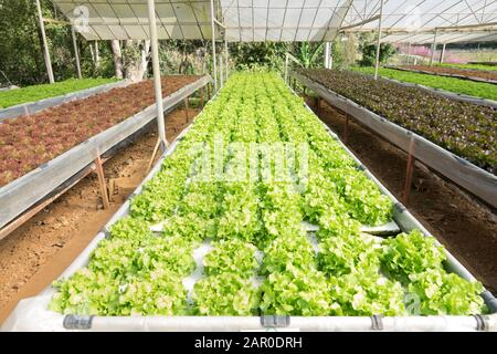 Hydroponic farm salad plants on water without soil agriculture in the greenhouse organic vegetable hydroponic system young and fresh green oak lettuce - Stock Photo