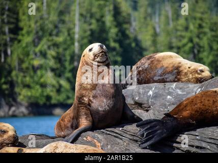 Large sea lions in Alaska